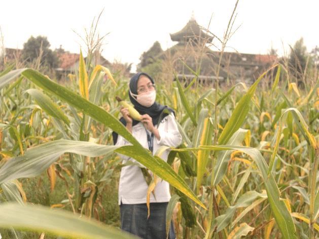Koordinator Bidang Administrasi PIAT UGM, Diana Mustikareni, S.H. menunjukkan jagung hasil petikannya.