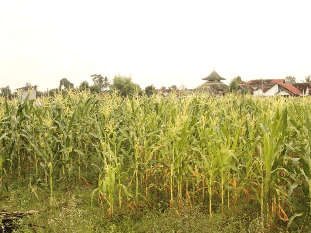 Lahan jagung PIAT yang berada di Blok I Tanjungtirto, Berbah, Sleman.