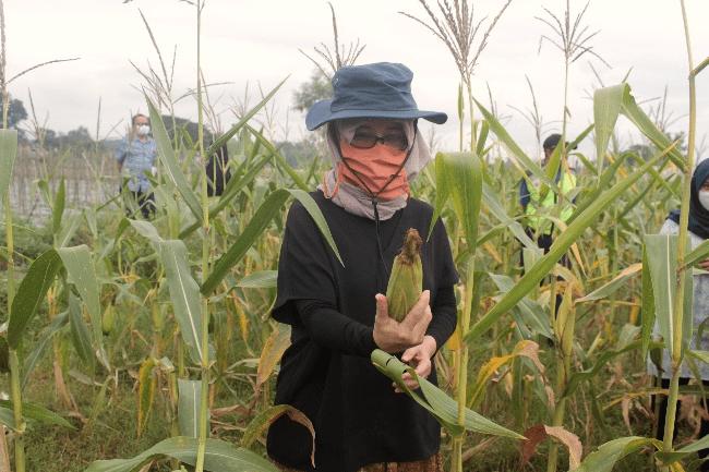 Wakil Rektor UGM Bidang Penelitian dan Pengabdian kepada Masyarakat, drg. Ika Dewi Ana, M.Kes. Ph.D sedang berada di lahan jagung.